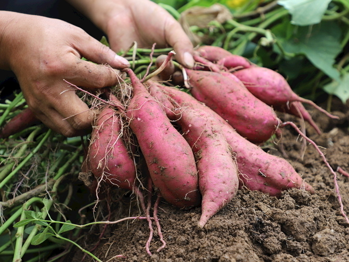 Why sweet potatoes become champion vegetables