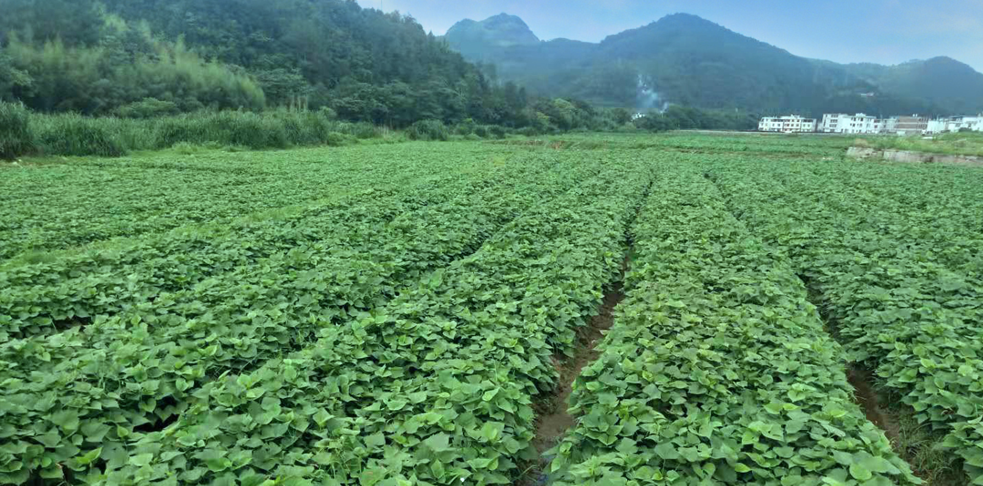 Thousands of acres of organic sweet potato cultivation base